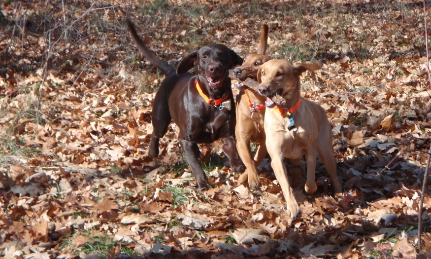 British Labrador Retrievers